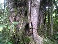 SanAgustín Huila 19 árbol de mas de 40 años.jpg