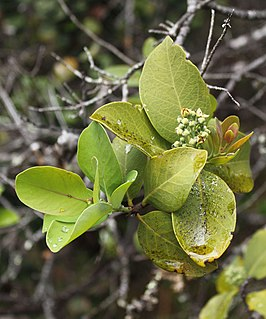 Sandalwood name of a class of fragrant woods from trees in the genus Santalum