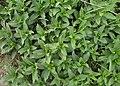 Saponaria officinalis kz06.jpg