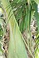 Satakentia liukiuensis 2zz.jpg