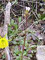Saxifraga carpetana Habito 2011-2-27 SierraMadrona.jpg