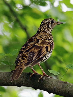 Scaly thrush - From West Bengal, India.