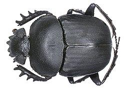 Scarabaeus ambiguus Boheman, 1857 (2964358216).jpg