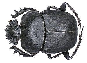 Scarabaeus - Image: Scarabaeus ambiguus Boheman, 1857 (2964358216)