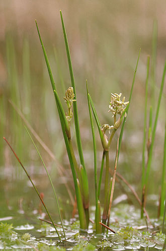 Scheuchzeria - Scheuchzeria palustris - flowering