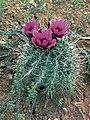 Sclerocactus parviflorus fh 69 127 UT B.jpg