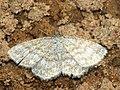 Scopula immorata - Lewes wave - Малая пяденица волнистая (40264884964).jpg