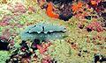 Sea Slug (Phyllidiopsis shireenae) (6085703536).jpg