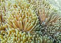 Sea anemones 02 - Cocks Comb Island, Myanmar.jpg