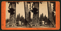 Section of the Big Tree, 30 feet in diameter, and House over the Stump, from the Sentinels, by Lawrence & Houseworth 5.png