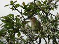 Sedge Warbler (4578471329).jpg