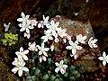 Sedum brevifolium (15906400635).jpg