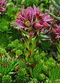 Sempervivum montanum stiriacum 002.JPG