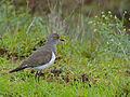 Senegal Lapwing (Vanellus lugubris) (12071869604).jpg
