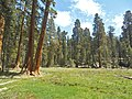 Sequoia Round Meadow P4250899.jpg