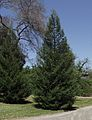 Sequoia sempervirens emily brown.jpg