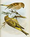 Serinus aurifrons Tristram 1868.jpg
