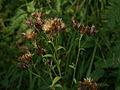 Serratula tinctortia PID1191-4.jpg