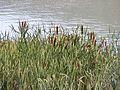 Serres plan d'eau Typha massette 21-08-2008 16-57-27.JPG