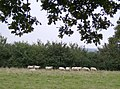Sheep near Youngwood's Farm - geograph.org.uk - 572924.jpg