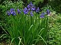 Siberian Irises.jpg