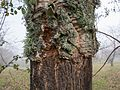 Sierra de Aracena - Quercus suber 01.jpg