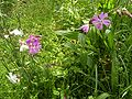 SileneDioica-plant-hr.jpg