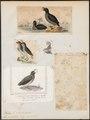 Simorhynchus cristatellus - 1700-1880 - Print - Iconographia Zoologica - Special Collections University of Amsterdam - UBA01 IZ17800193.tif
