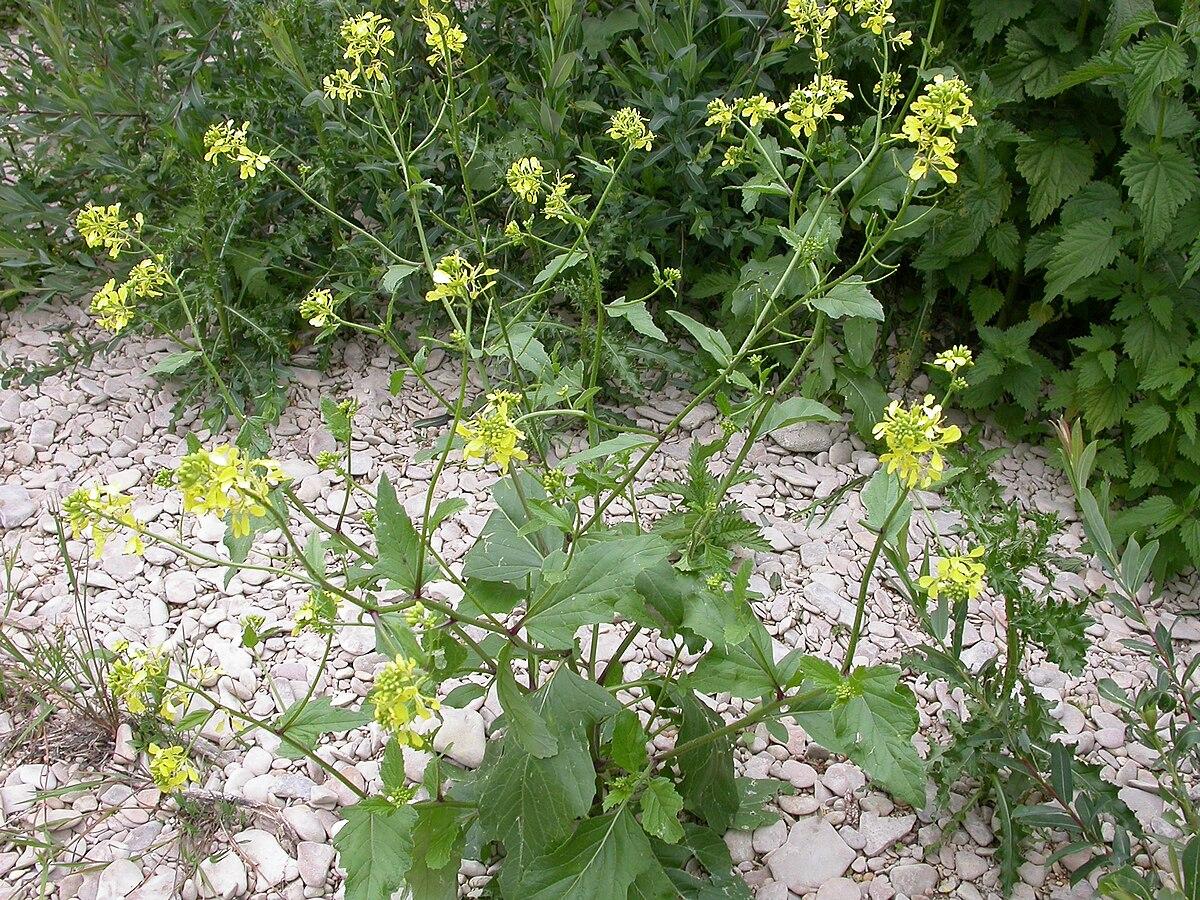 Sinapis Arvensis Seed