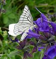 Siona lineata. Black-veined White - Flickr - gailhampshire (1).jpg