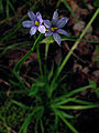 Sisyrinchium angustifolium - Blue Eyed Grass 2.jpg