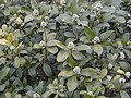 Skimmia japonica RJB.jpg