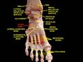 Slide5ecce - Cuboid bone.png