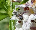 Small Carpenter Bee. Ceratina sp. female on Orobanche (32228447206).jpg