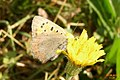 Small copper (NH) (11129265994).jpg