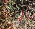 Smilax china (fruits s8).jpg
