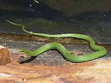 -http://upload.wikimedia.org/wikipedia/commons/thumb/8/85/Smooth_Green_Snake.jpg/220px-Smooth_Green_Snake.jpg