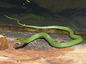 Description de l'image Smooth Green Snake.jpg.