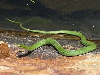 Smooth green snake - Image: Smooth Green Snake