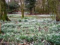 Snowdrops at Carzield - geograph.org.uk - 353719.jpg