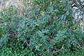 Solanum sodomaeum 0080.JPG