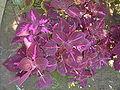 Solenostemon blumei dsc03661.jpg