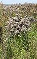 Solidago canadensis ripe 2013 G2.jpg