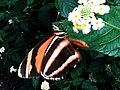 Sommerfugl, Bornholms Sommerfuglepark 26.jpg