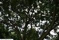 Sophora japonica Regent 4zz.jpg