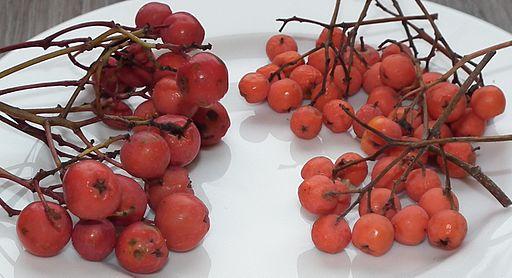 Sorbus aucuparia fruit comparison