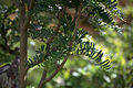 Sorbus scalaris 04.jpg