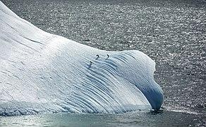 South Shetland-2016-Deception Island–Chinstrap penguins (Pygoscelis antarctica) 04 on iceberg.jpg