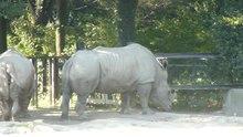 File:SouthernWhiteRhino-TobuZoo2012.ogv
