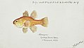 Southern Pacific fishes illustrations by F.E. Clarke 7.jpg